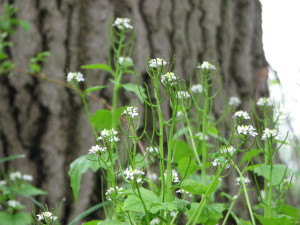 Invasive plant species Garlic Mustard
